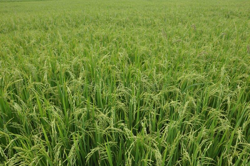 Feuilles et paddy de riz photographie stock