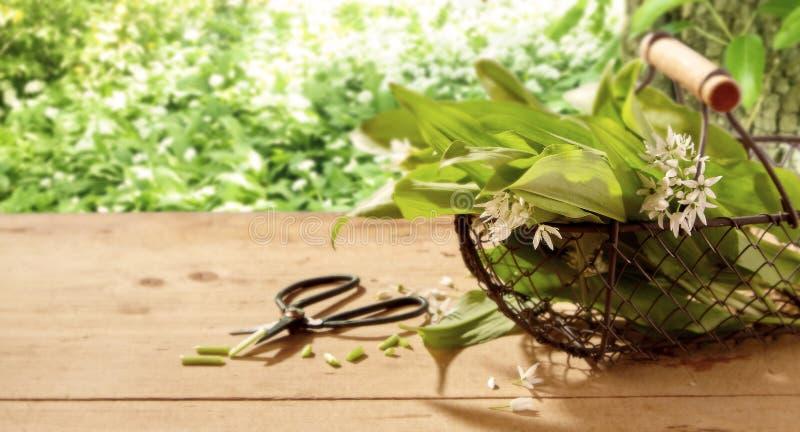 Feuilles fraîchement sélectionnées et fleurs d'ail sauvage photographie stock