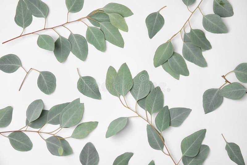 feuilles fraîches d'eucalyptus image stock