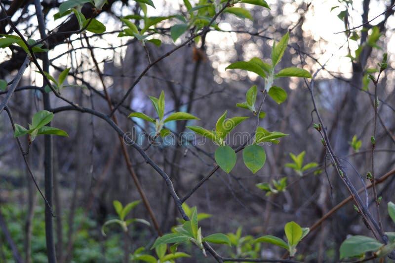 Feuilles fraîches de jardin de cerise d'oiseau au printemps Entrelacement élégant des branches photos libres de droits