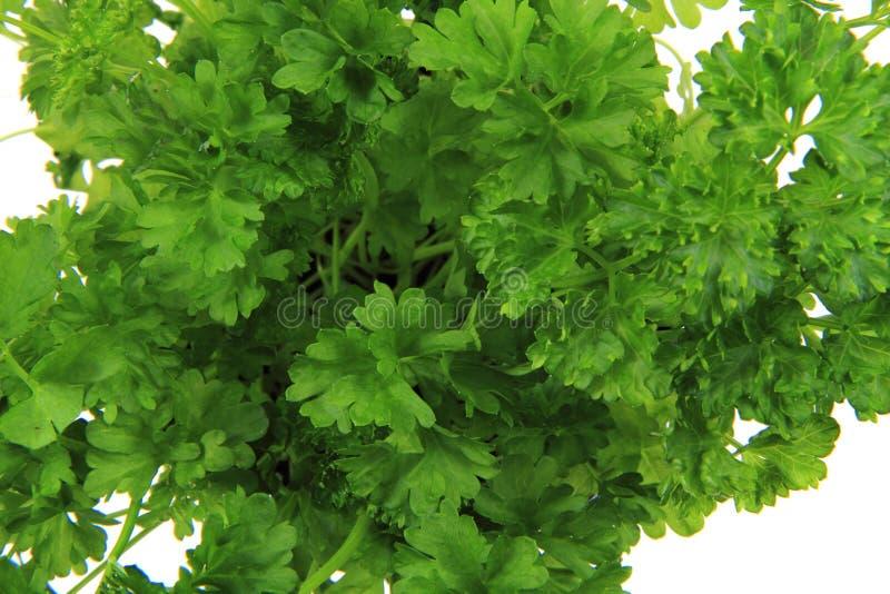 Feuilles fraîches de persil - herbes vertes image libre de droits