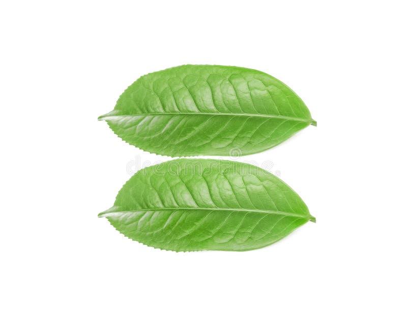 Feuilles fraîches de thé vert d'isolement sur le fond blanc images stock