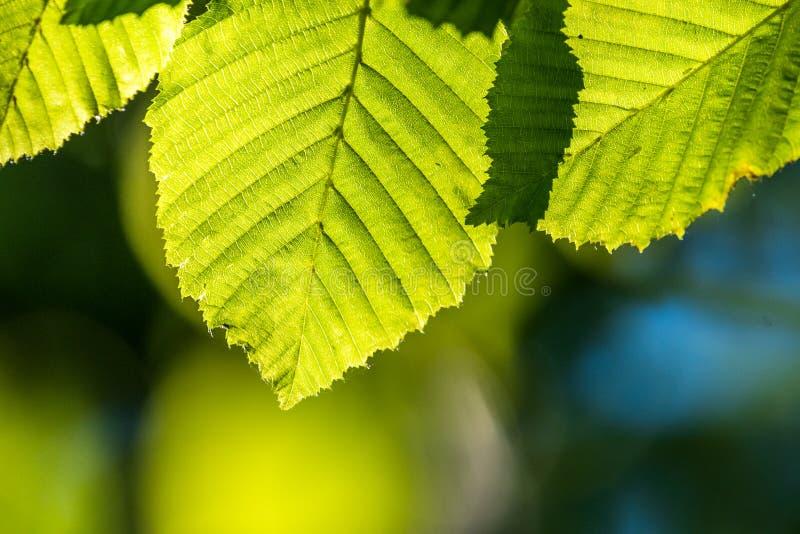 Feuilles fraîches vertes à la lumière du soleil directe photographie stock libre de droits