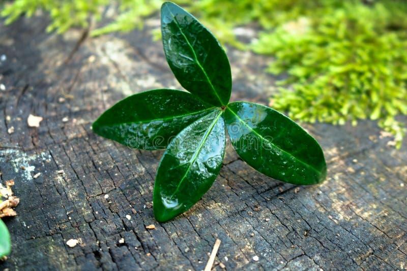 Feuilles humides vertes sur le bois ! images libres de droits