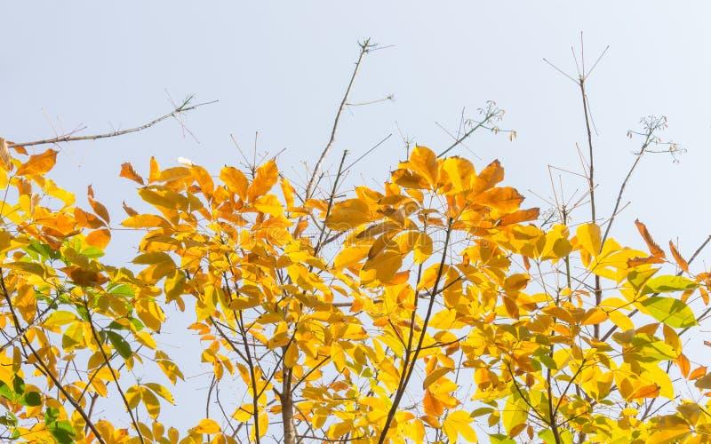Feuilles jaunes d'arbre en caoutchouc sur le fond 2 de ciel photos stock