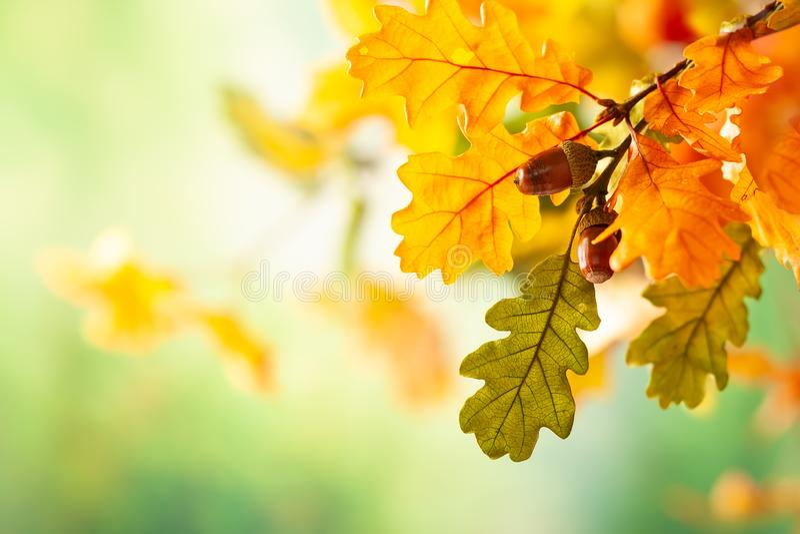 Feuilles jaunes d'automne de chêne en parc d'automne Fond de chute avec des feuilles images libres de droits