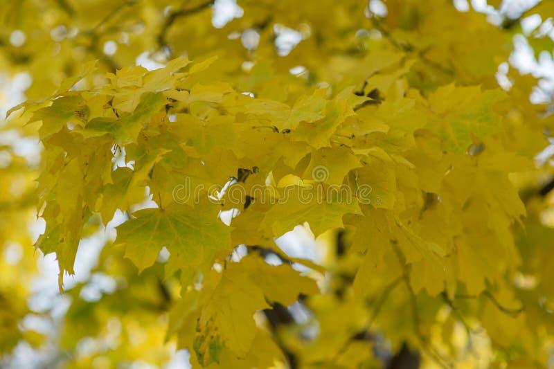 Feuilles jaunes d'?rable d'automne photo libre de droits