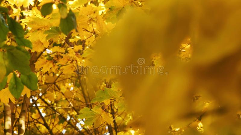 Feuilles jaunes d'?rable glissant la fin de foyer de beaux arbres magiques d'automne, feuilles de jaune et ensoleill? calme incro illustration de vecteur