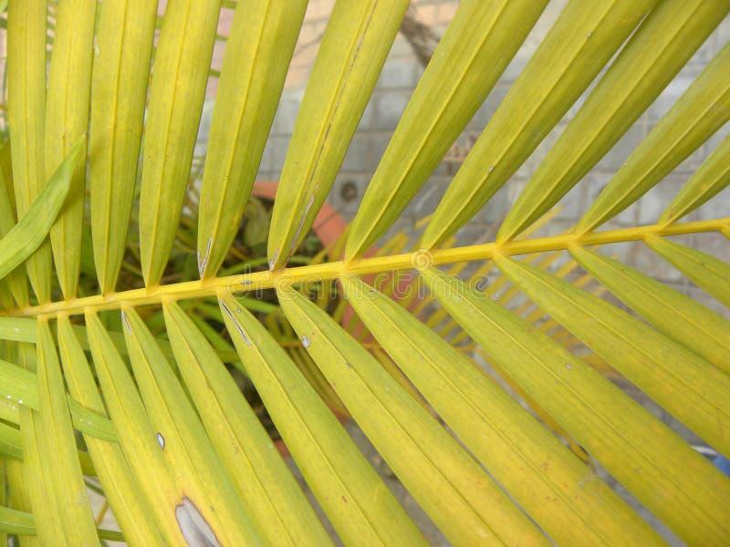 Feuilles jaunes de couleur d'usine de paume d'arec photo libre de droits