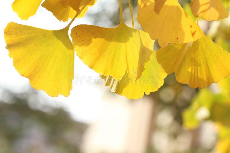 Feuilles jaunes de ginkgo sur la branche en automne photographie stock libre de droits