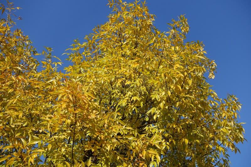 Feuilles jaunes dorées de frêne contre ciel bleu photos libres de droits