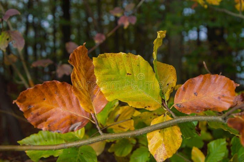 Feuilles jaunes et vertes rouges d'une branche de hêtre image stock