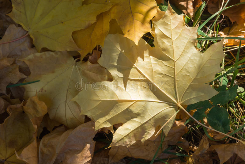 Download Feuilles Jaunes Sèches D'érable Sur La Terre Image stock - Image du closeup, botanique: 77150575