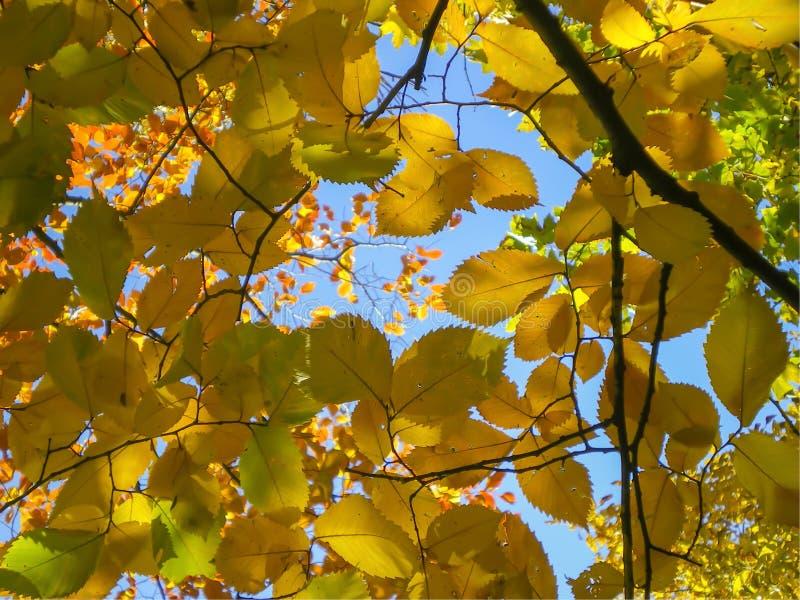 Feuilles jaunes sur les branches contre le ciel bleu photographie stock