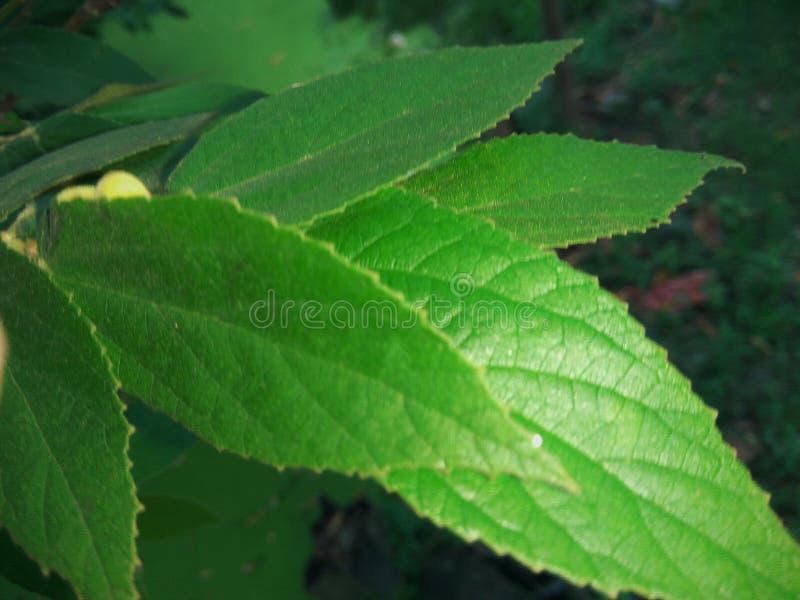 Feuilles lanceolate vert-foncé de cerise de la Jamaïque photos stock