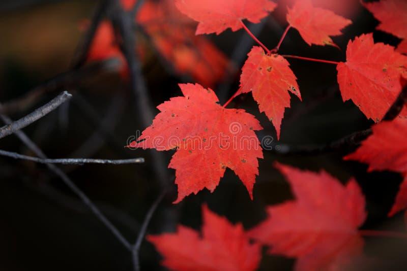 Feuilles lumineuses d'érable rouge dans la forêt photographie stock