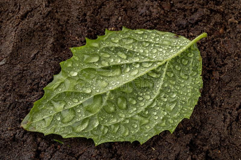 Feuilles mûres fraîches arrosées avec des gouttes de pluie sur le sol noir Plantes vertes couvertes de nuages d'eau de pluie image libre de droits