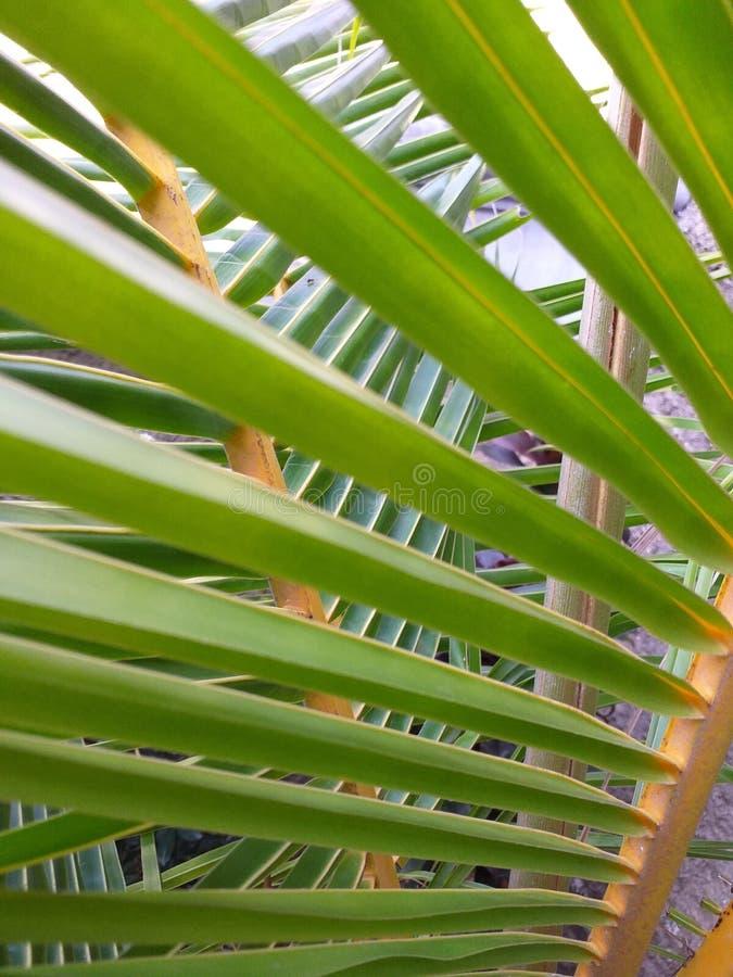 Feuilles naines de noix de coco sur la page d'accueil photos stock