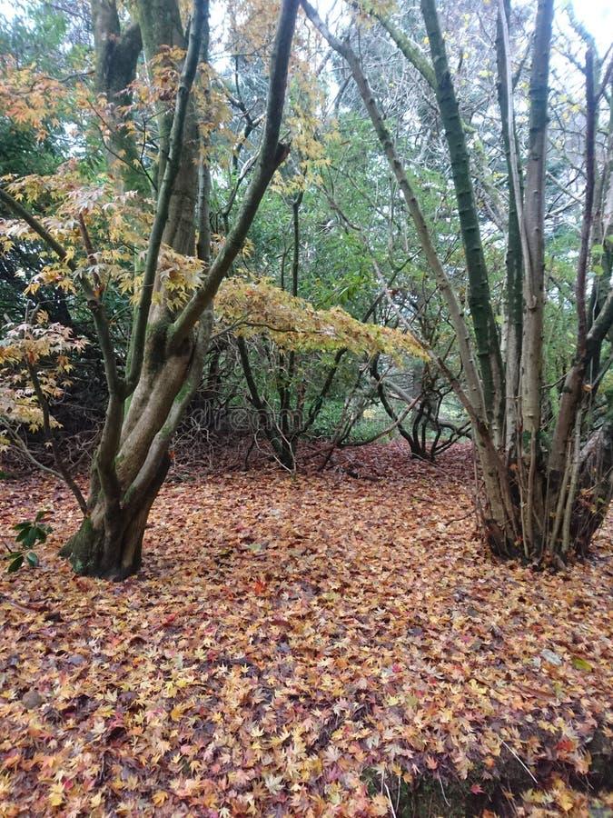 Feuilles naturelles de région boisée d'Acer en automne images libres de droits