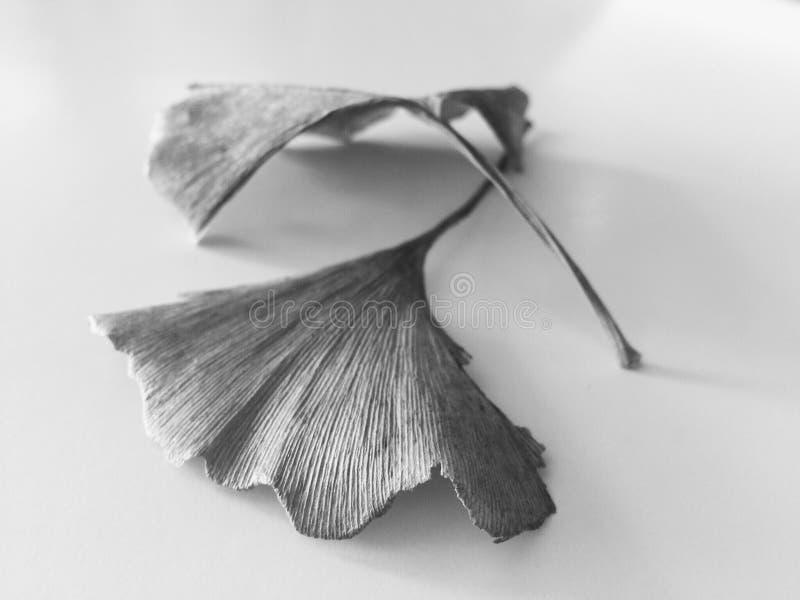 feuilles noires et blanches de ginkgo images stock