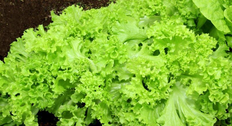 Feuilles ondulées croissantes de salade photographie stock