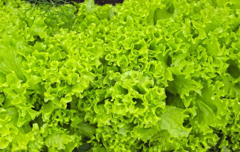 Feuilles ondulées de salade de légume frais photos libres de droits