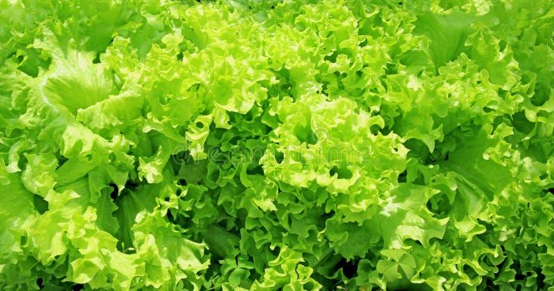 Feuilles ondulées de salade de légume frais image stock