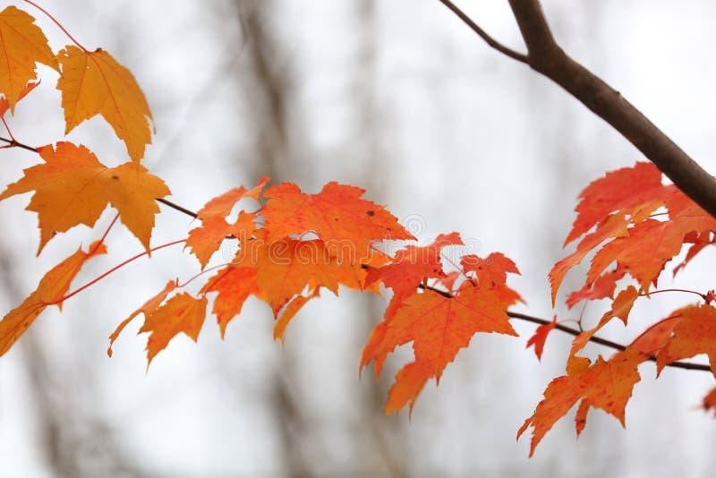 Feuilles oranges lumineuses d'érable photographie stock libre de droits