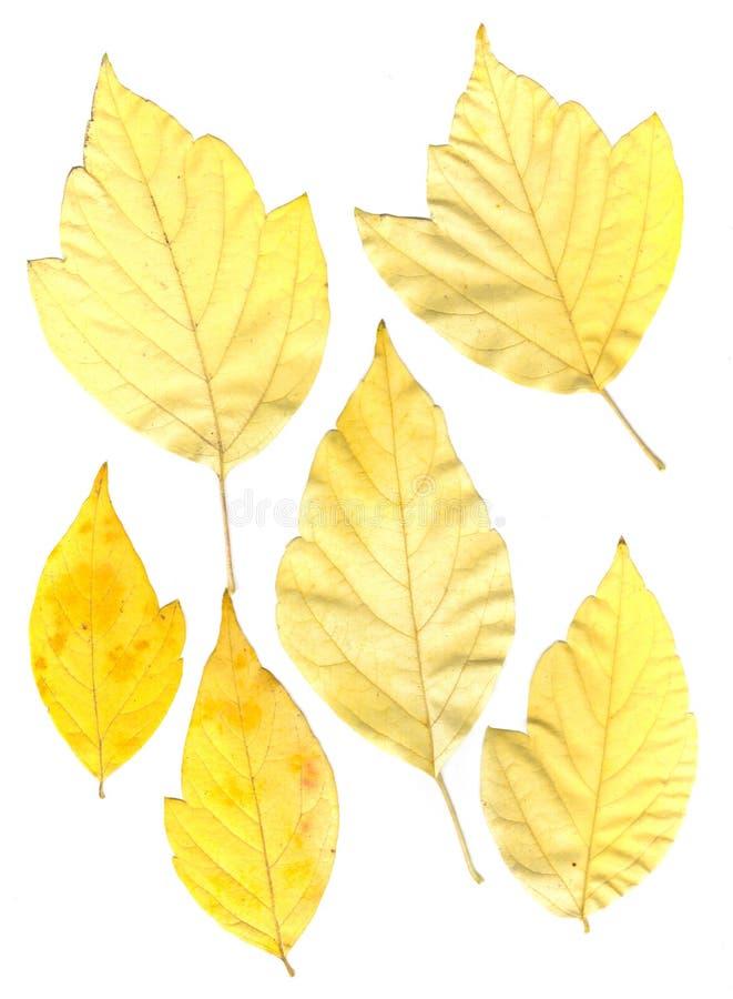 Feuilles pressées vertes et jaunes d'érable images libres de droits