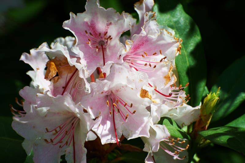 Feuilles roses de fleur et de vert photographie stock libre de droits