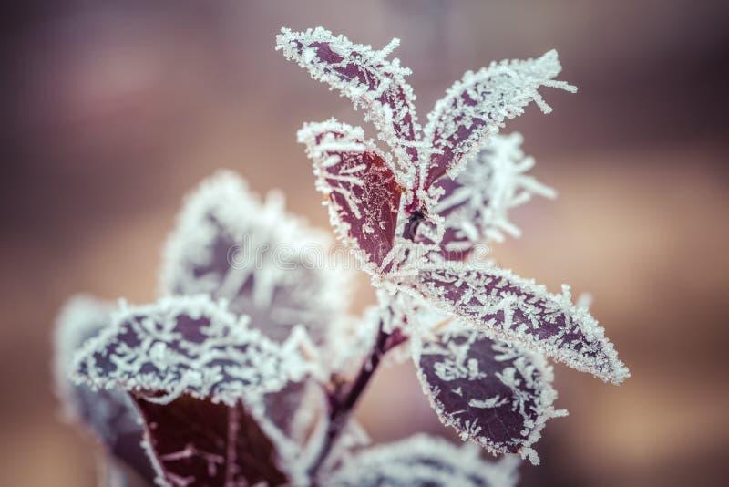 Feuilles rouges couvertes de gelée et de flocons de neige un jour givré d'hiver image libre de droits