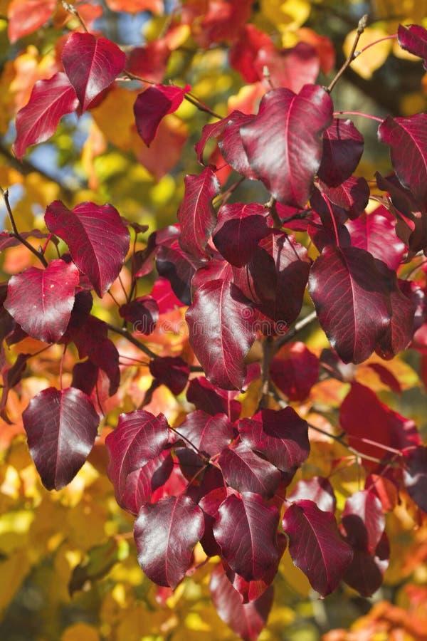Feuilles rouges d'automne de Bradford Pear Calleryana photos libres de droits