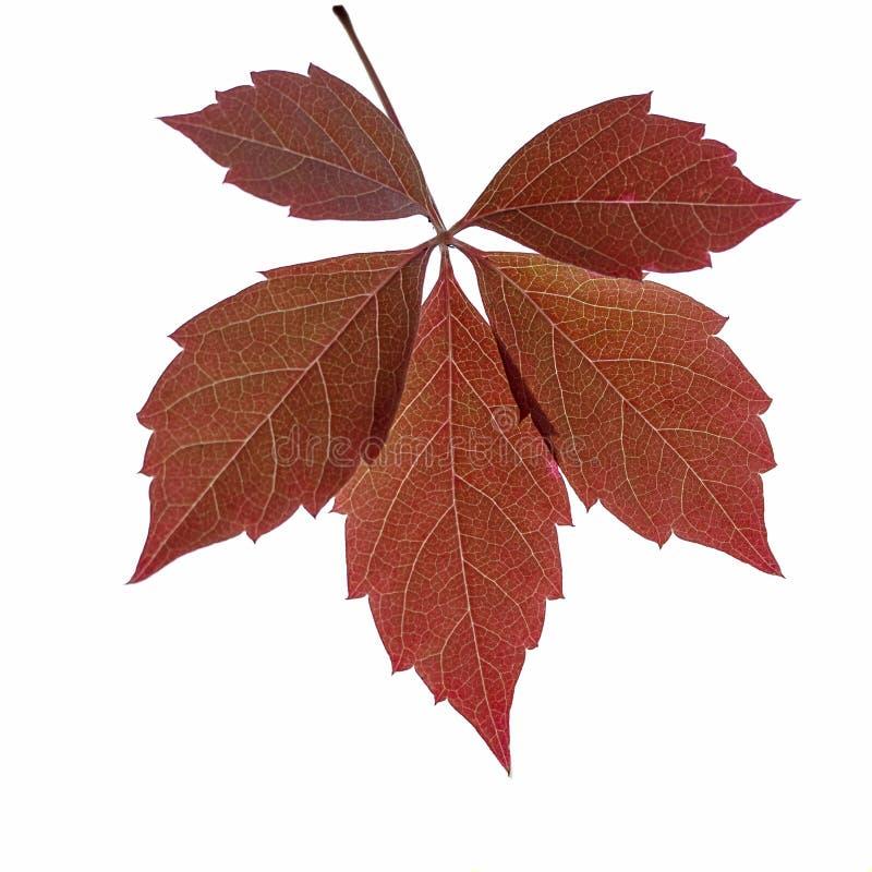 Feuilles rouges d'automne sur fond blanc isolé Automne, belle photo libre de droits