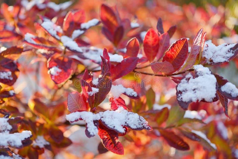 Feuilles rouges dans l'autum avec la première neige images stock
