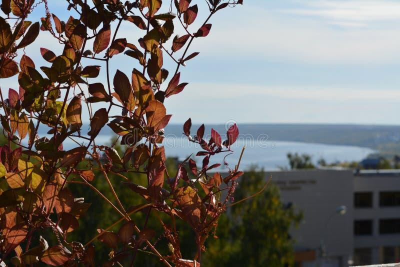 Feuilles rouges de cobaea dans le petit jardin urbain sur le balcon Vue sur la ville par le feuillage photo stock