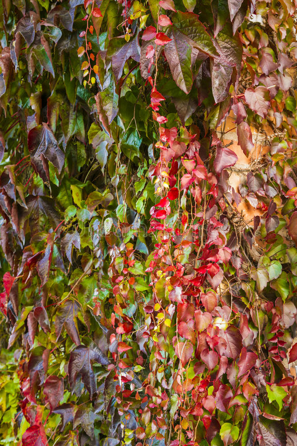 Plante feuilles rouges finest habitat floraison les plantes quuon trouve chez nous et qui - Plante a feuilles rouges ...