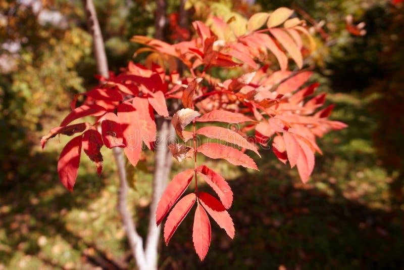 Feuilles rouges de sorbe d'automne d'octobre image stock