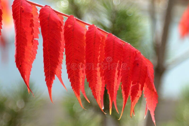 Feuilles rouges de sorbe d'automne sur le fond de nature images libres de droits