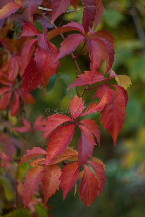 Feuilles rouges des raisins sauvages étroitement pendant l'automne sur le fond naturel vert images libres de droits