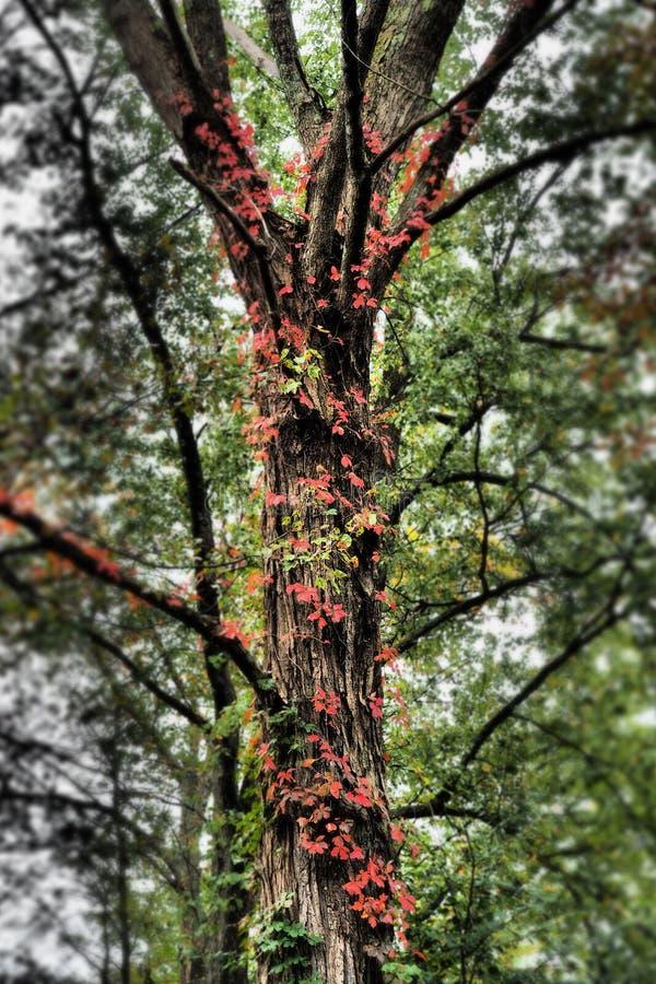 Feuilles rouges lumineuses montant un tronc d'arbre images stock