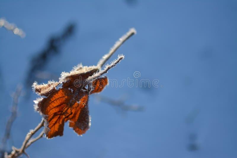 Feuilles sèches couvertes de gel en hiver froid images libres de droits