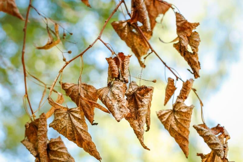 Feuilles sèches d'automne de tilleul photographie stock libre de droits