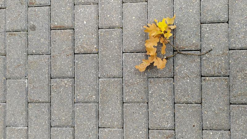 Feuilles sèches jaunies d'érable sur le plan rapproché en pierre gris de trottoir Feuillage d'automne 2008 lames d'or de lame de  image libre de droits