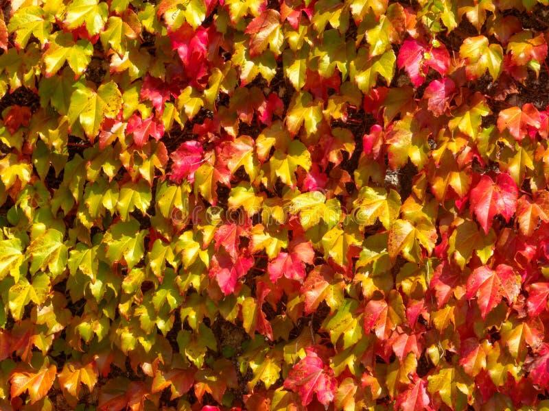 Feuilles sauvages automnales colorées de vigne - Negreira images stock