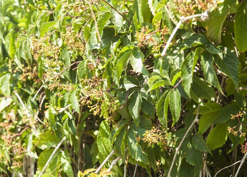 Feuilles sauvages de raisins sur la barrière en bois image libre de droits