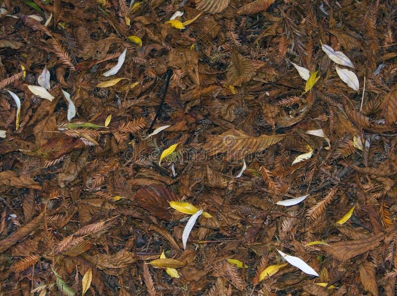 Feuilles sur le plancher en forêt de Hatfield, Essex Angleterre photos libres de droits