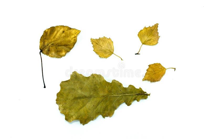 feuilles tombées d'isolement image stock