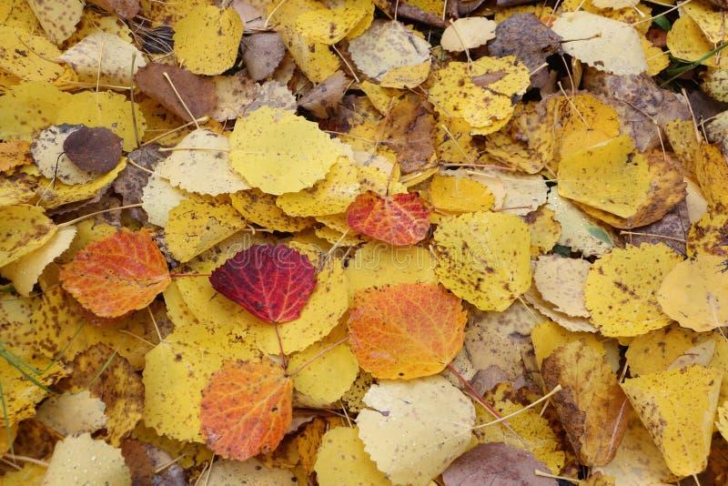 Feuilles tombées d'un tremble en automne photo libre de droits