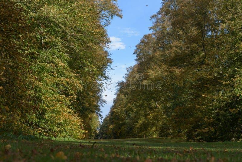Feuilles tombant en automne à l'avenue de chaux, parc de Nowton photo stock