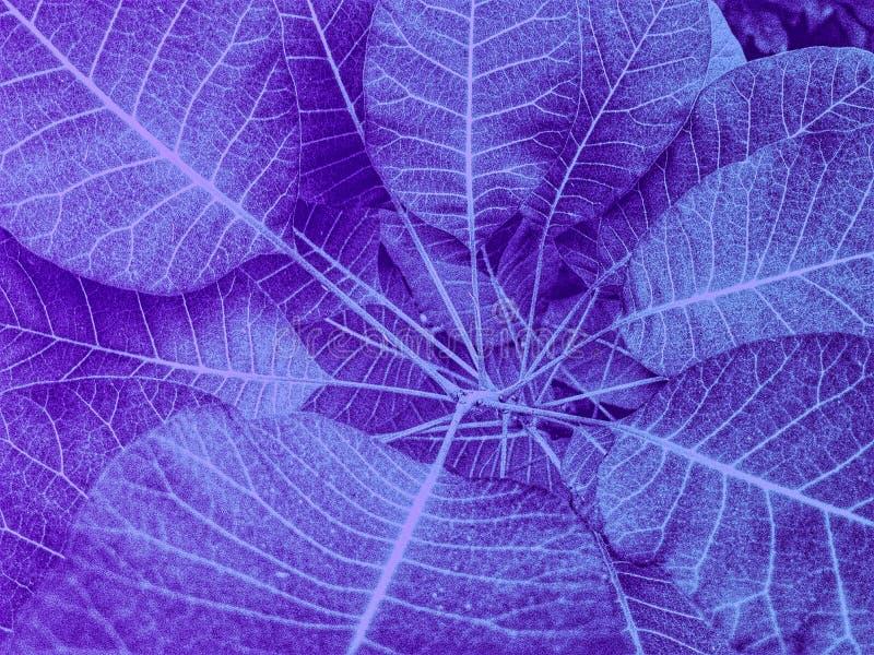 Feuilles transparentes ultra-violettes en plan rapproché photographie stock